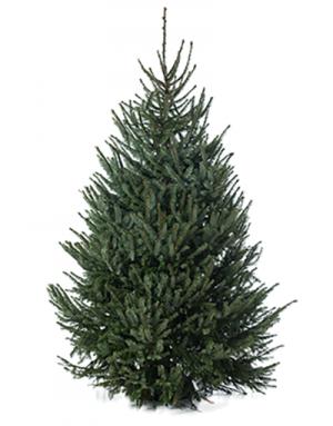 Picea Omrika